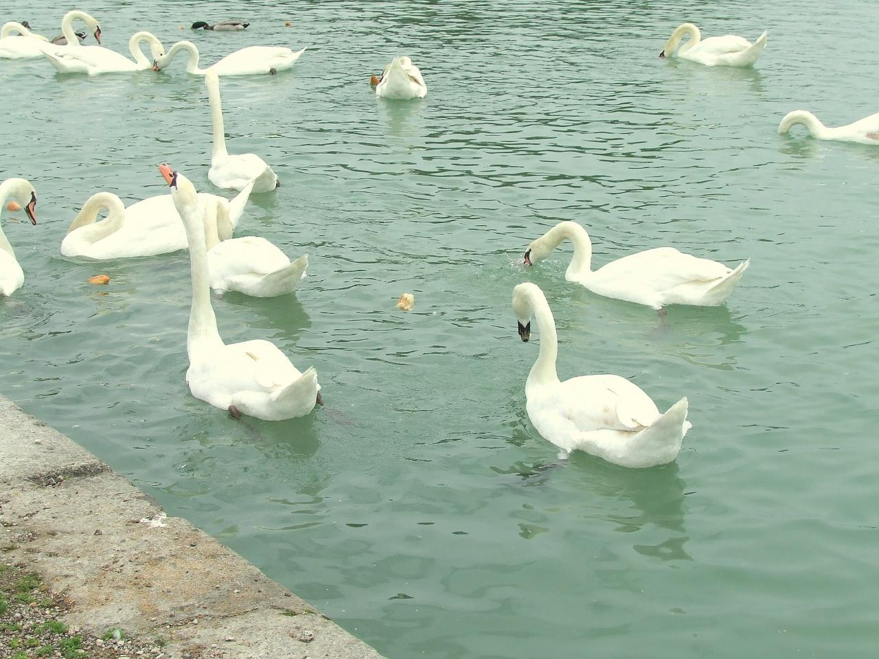 des cygnes sur le canal