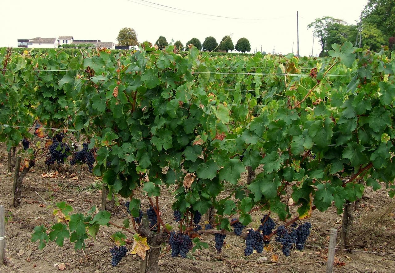des vignes à Libourne