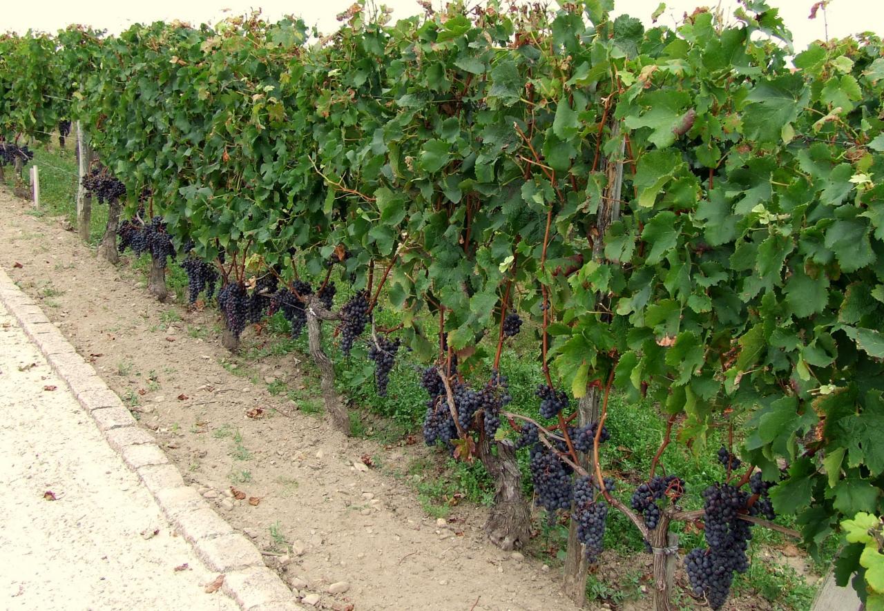 des vignes à Pomerol