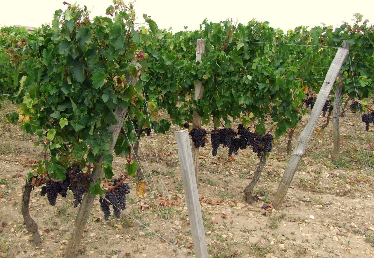 des vignes à Saint-Emilion